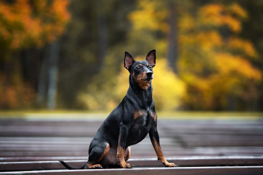Pies rasy pinczer niemiecki siedzący na drodze podczas spaceru oraz jego charater i usposobienie