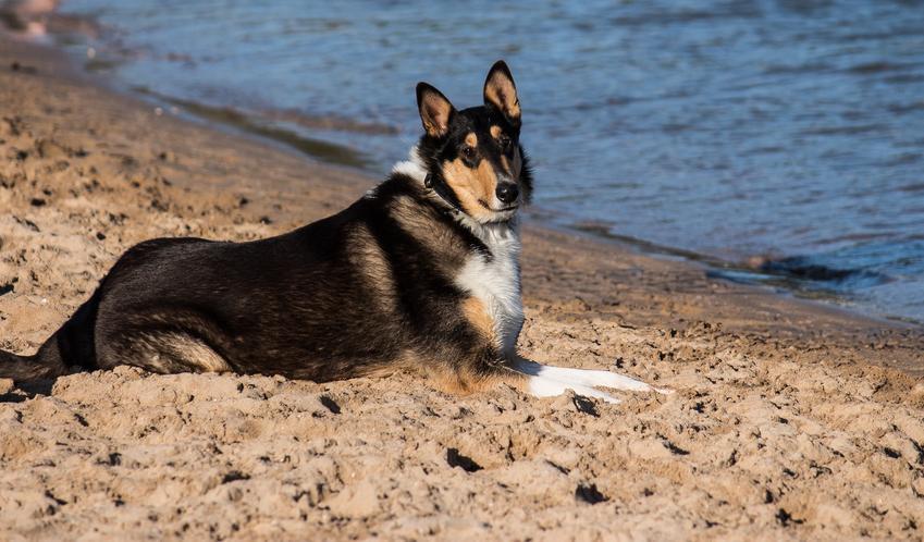 Pies rasy owczarek szkocki krótkowłosy na plaży nad wodą, a także jego charakter