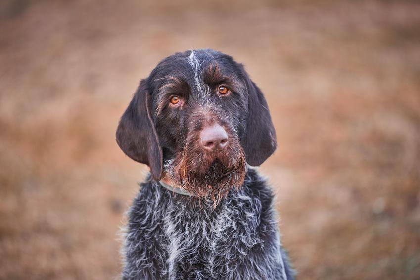Pies rasy wyżeł czeski podczas spaceru, a także jego charakter, cena i hodowla