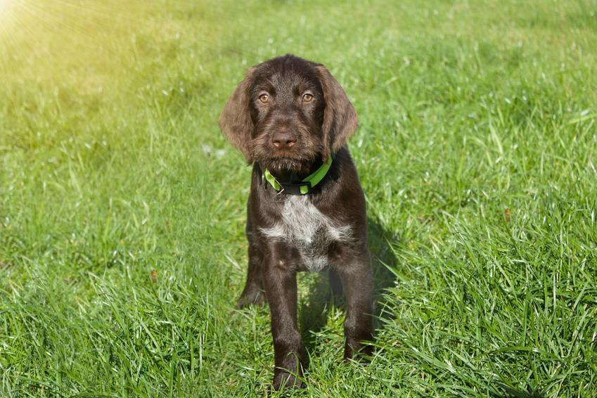Pies rasy wyżeł czeski siedzący na trawie, a także jego charakter i usposobienie