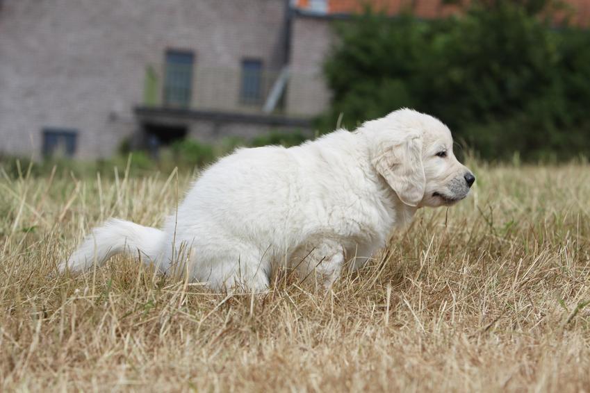 Pies załatwiający się podczas spaceru, a także biegunka u psa, czyli rozwolnienie krok po kroku