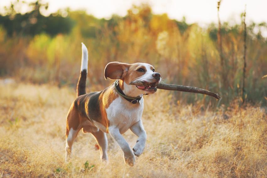 Pies beagle niosący patyk podczas spaceru, a także charakter i usposobienie rasy