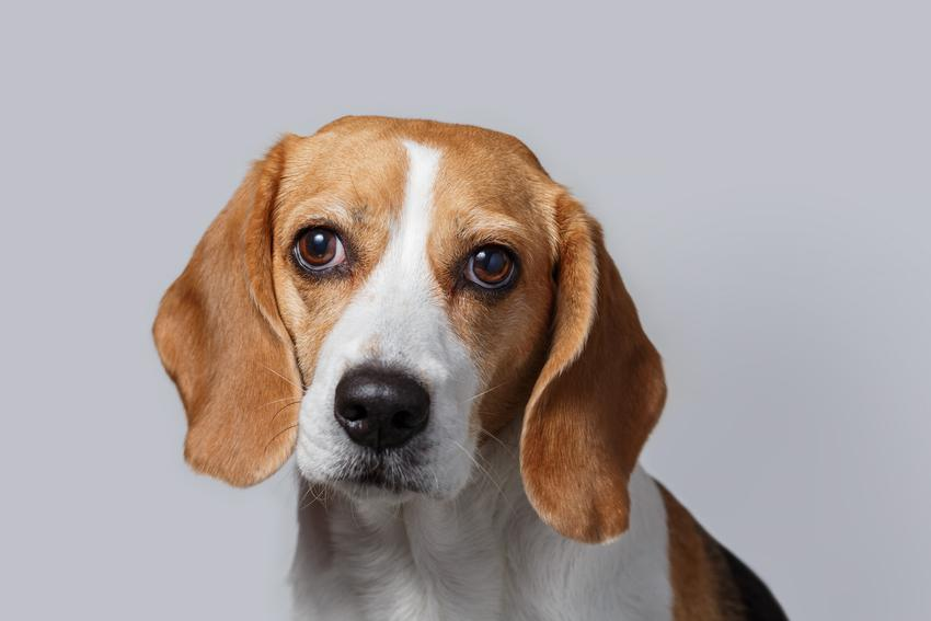 Pies rasy beagle na portrecie na szarym tle, a także pies beagle i jego charakter
