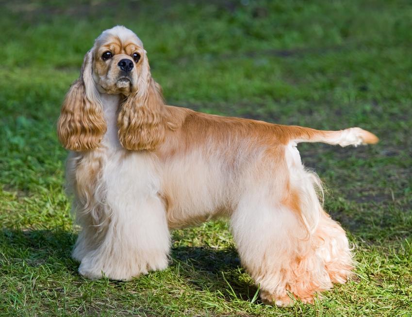 Pies rasy cocker spaniel amerykański na tle zieleni, a także jego charakter i cena