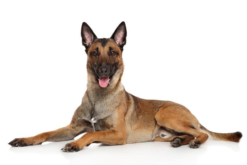 Pies rasy owczarek belgijski na białym tle, a także jego usposobienie, opis, cena i charakter