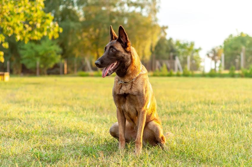 Pies rasy owczarek belgijski siedzący na trawie na tle drzew oraz jego charakter i hodowla