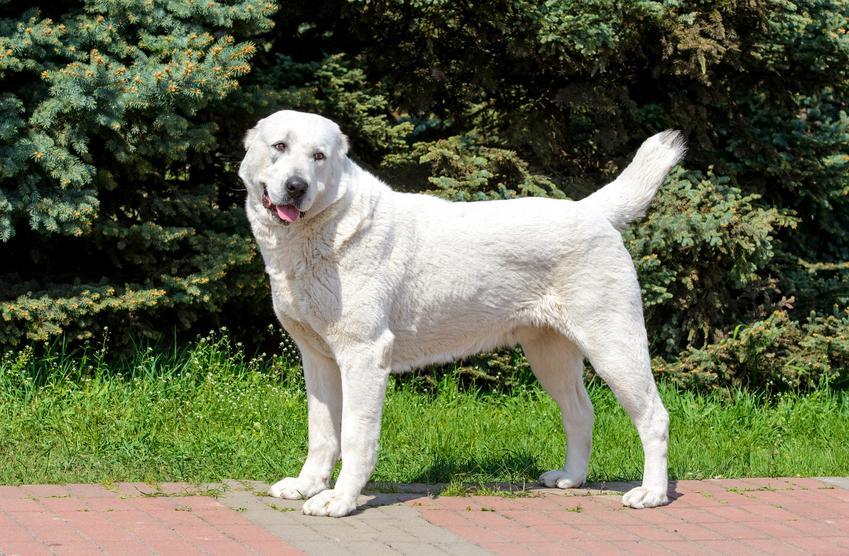 Pies rasy owczarek środkowoazjatycki na tle zieleni podczas spaceru, a także jego charakter i opis