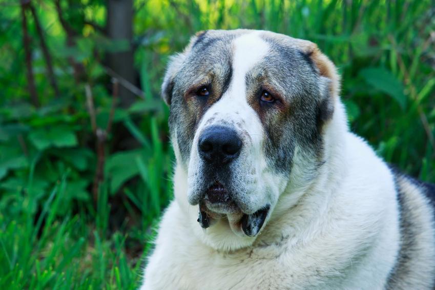 Pies rasy owczarek środkowoazjatycki na tle zieleni, a także jego wychowanie, charakter, opis i cena