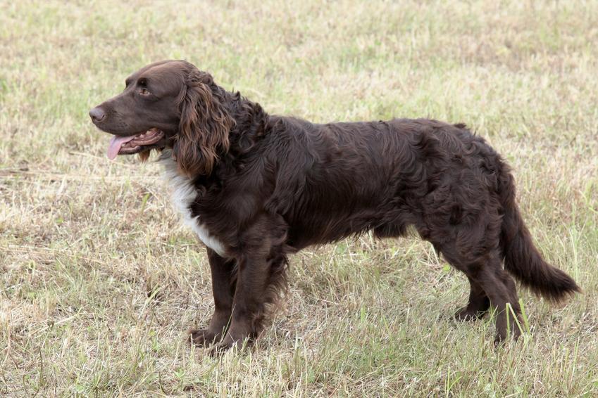 Pies rasy płochacz niemiecki podczas spaceru stojący na trawniku, a także jego charaker i hodowla