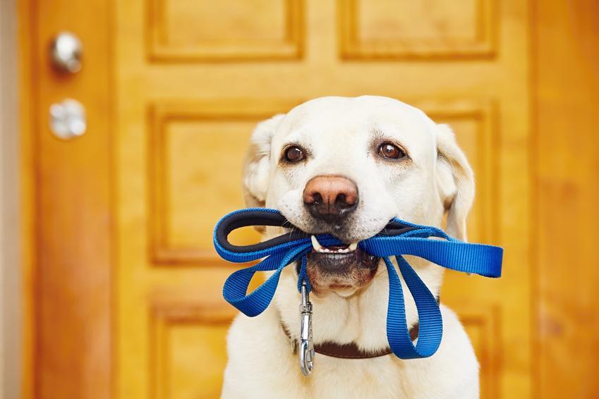 Pies trzymający w pysku niebieską smycz, a także inne potrzebe rzeczy, czyli wyprawka dla psa i szczeniaka