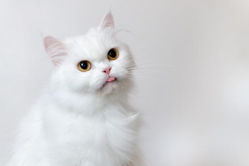 Biały kot perski na szarym tle, a także jego charakter, usposobienie i wychowanie