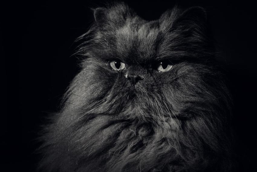 Czarny kot perski na czarnym tle, a także charakter kotów tej rasy i ich hodowla