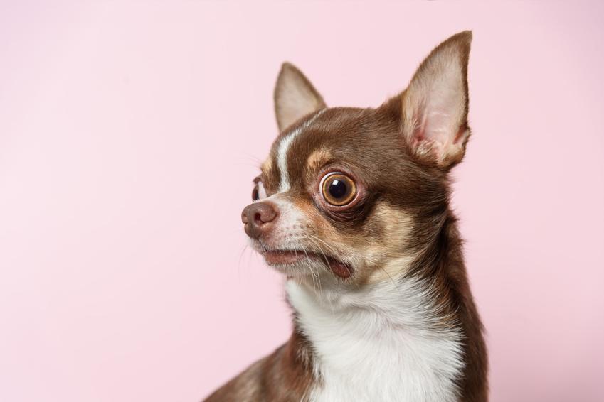 Pies rasy chihuahua na różowym tle, a także cziłała, jej charakter i cena