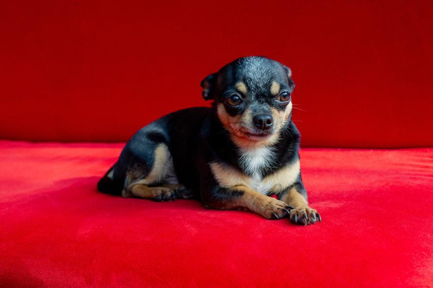 Czarny pies rasy chihuahua na czerownym tle, a także jego hodowla w Polsce i opis rasy
