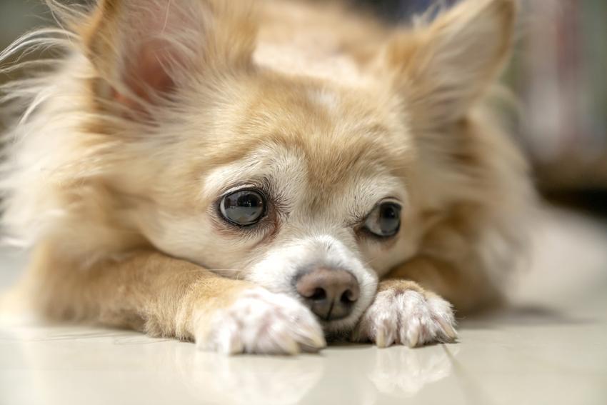 Pies rasy chihuahua długowłosa leżący na podłodze, a także jego charakter i cena