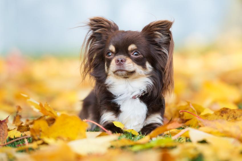 Szczeniak psa rasy chihuahua długowłosa w żółtych liściach, a także jego hodowle w Polsce