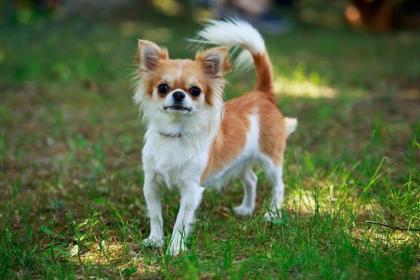 Pies rasy chihuahua długowłosa podczas spaceru na trawniku, a także jego hodowla i cena za szczeniaki