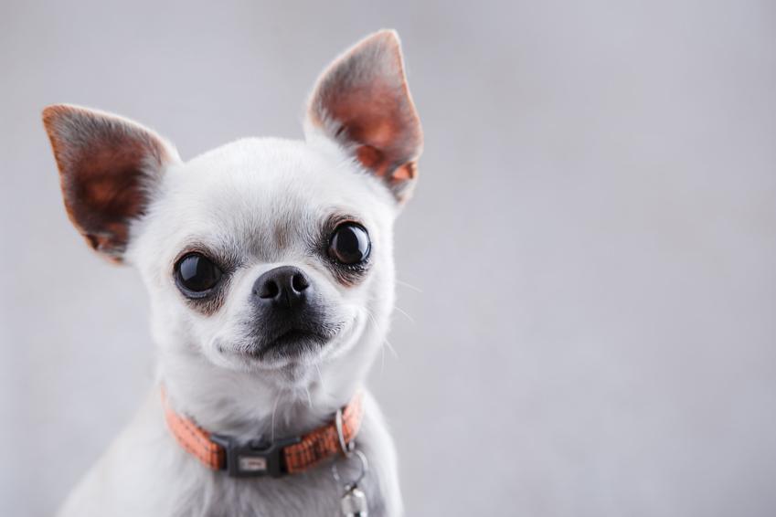 Szczeniak psa rasy chihuahua na szarym tle, a także polecana hodowla chihuahua w Polsce