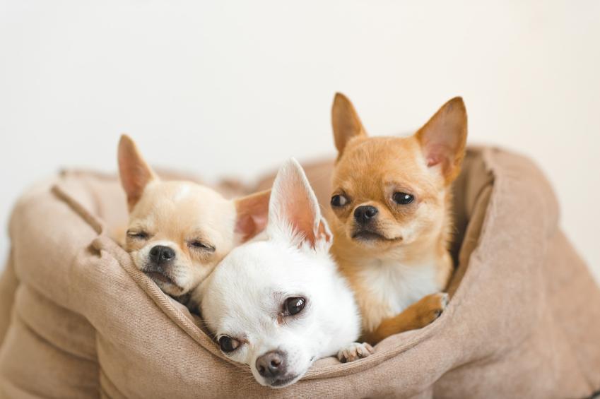 Psy rasy chihuahua w worku, a także najlepsza hodowla chihuahua w Polsce