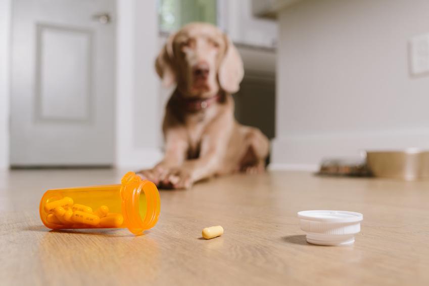 Pies siedzący przed tabletkami oraz porady jak często odrobaczać psa, co ile odrobaczać psa