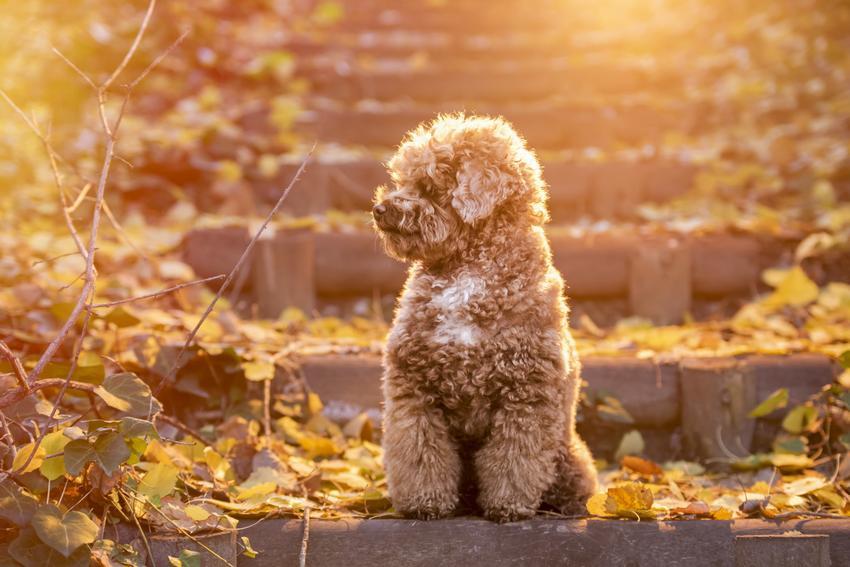 Pies rasy pudel toy siedzący na schodach w jesiennej scenerii, a także jego charakter i wychowanie