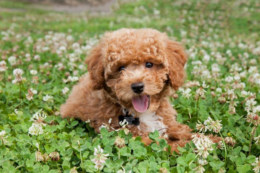Pies rasy pudel toy siedzący w koniczynie, a także jego charakter i cena