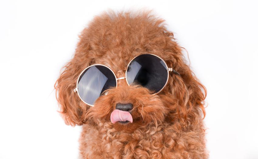 Pies rasy pudel toy z językiem na wierzchu w okularach przeciwsłonecznych, oraz jego opis