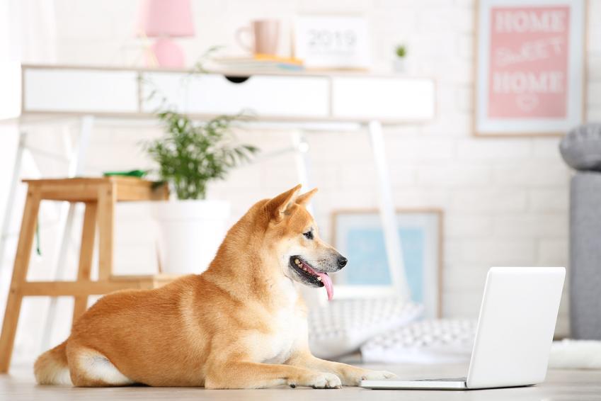 Pies rasy shiba inu siedzący przed komputerem oraz memy z jego udziałem