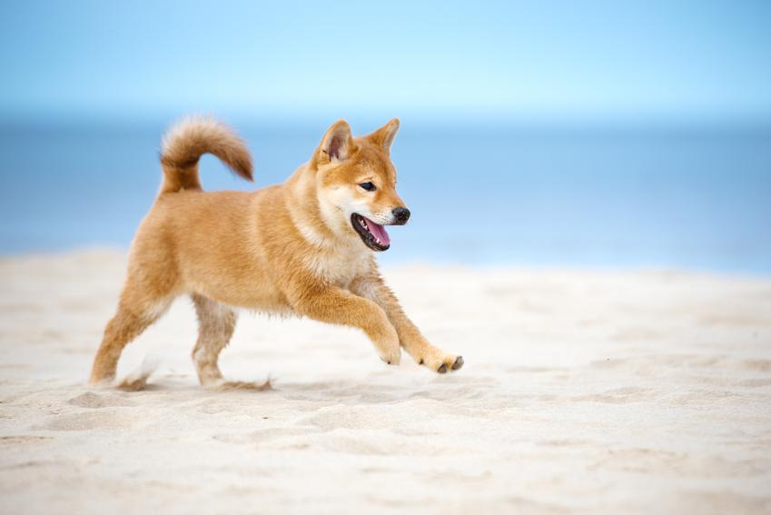 Pies rasy shiba inu biegającym po plaży, a także memy, zdjęcia i informacje o co chodzi w fenomienie