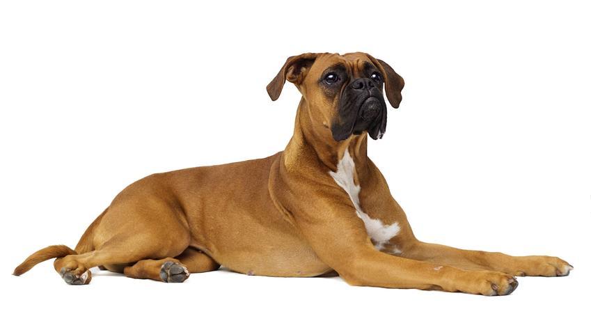 Pies bokser leżący na białym tle, a także jaki jest jego charakter, usposobienie i cena