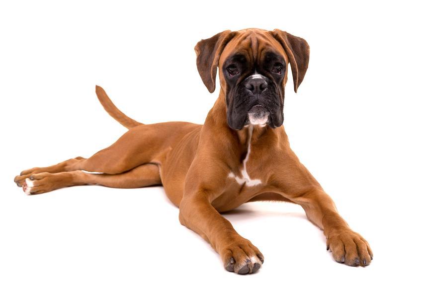 Pies rasy bokser leżący na białym tle, a także opis, charakter i usposobienie boksera