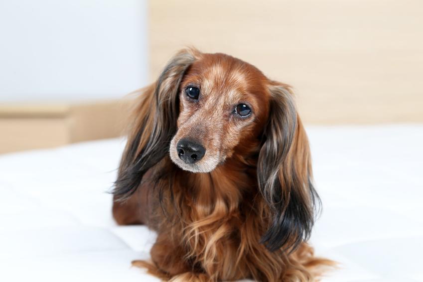 Pies rasy jamnik długowłosy leżący na łóżku, a także jego charakter i cena