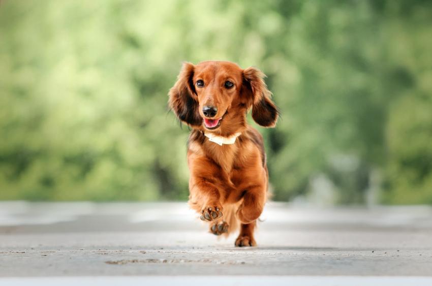 Pies rasy jamnik długowłosy podczas spaceru, a także jego charakter i usposobienie