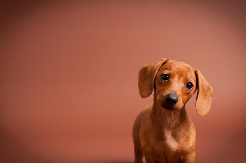 Pies rasy jamnik miniaturka na różowym tle oraz jego opis, hodowle i cena
