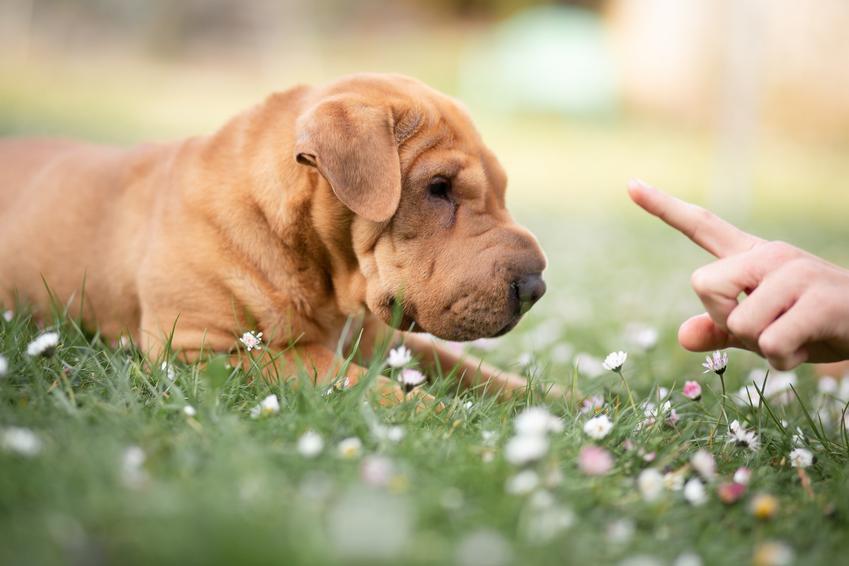 Pies rasy shar pei leżący na trawie oraz jego usposobienie, hodowla i cena