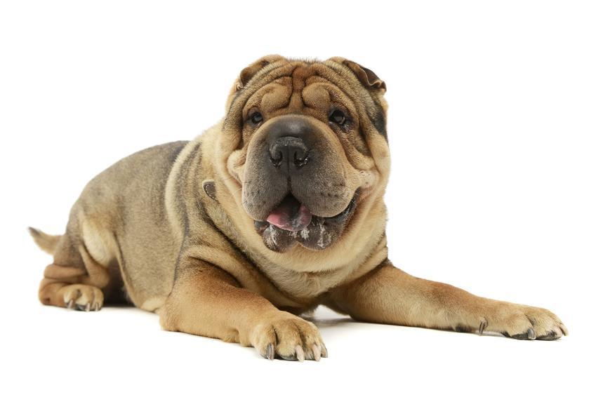 Pies rasy shar pei na białym tle, a także szarpej, jego hodowla i wychowanie
