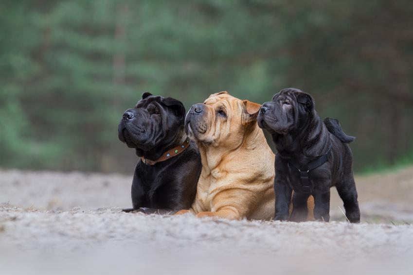 Trzy małe psy rasy shar pei, czyli cena shar pei i cena za szczeniaki z rodowodem