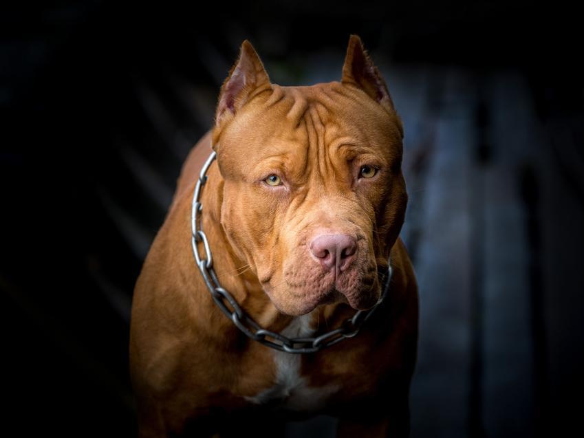 Pies pitbull na czarnym tle i zbliżenie najego pysk, a także charakter i hodowle