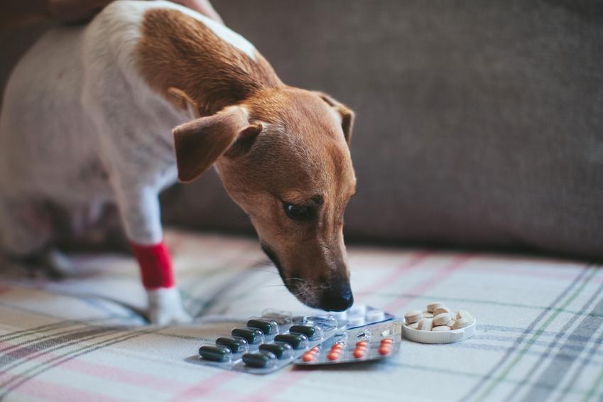 Pies wąchający tabletki na odrobaczanie psa oraz polecane leki na odrobaczanie psa