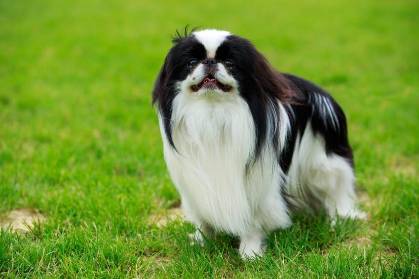 Pies rasy chin japoński siedzący na trawie, a także jego charakter i hodowle