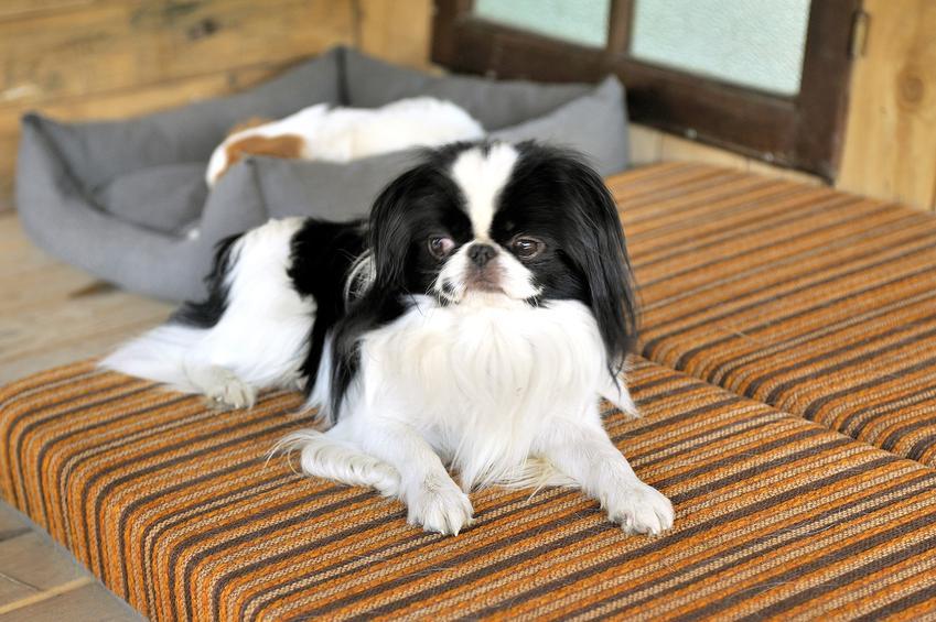 Pies rasy chin japoński leżący na tarasie oraz jego charakter i usposobienie