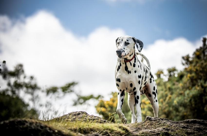 Pies rasy dalmatyńczyk w czasie spaceru na tle nieba oraz jego charakter i opis