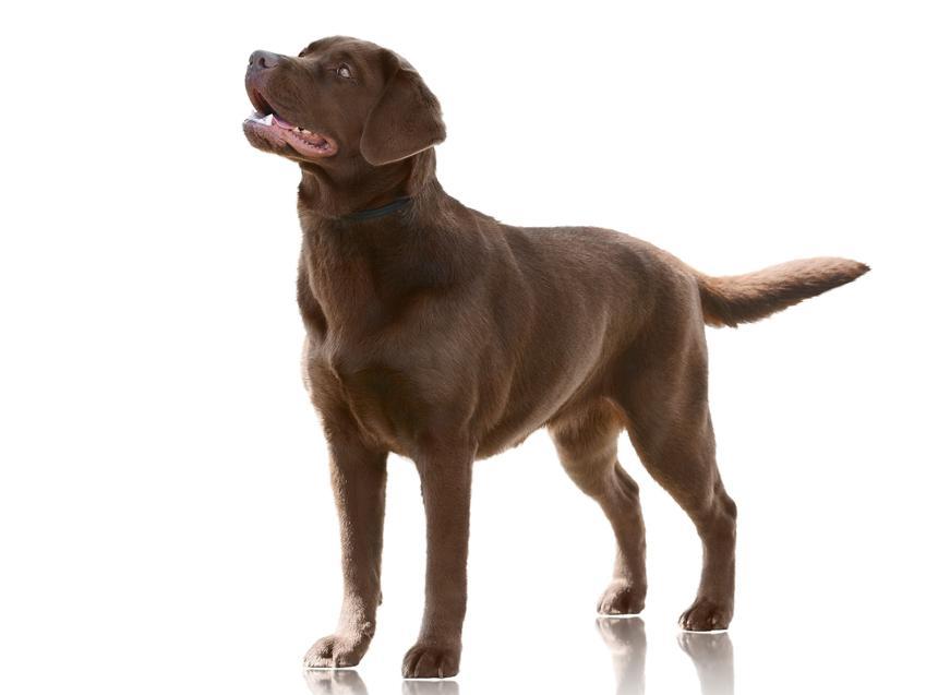Pies rasy labrador brązowy lub czekoladowy na białym tle, a także jego hodowle i ceny