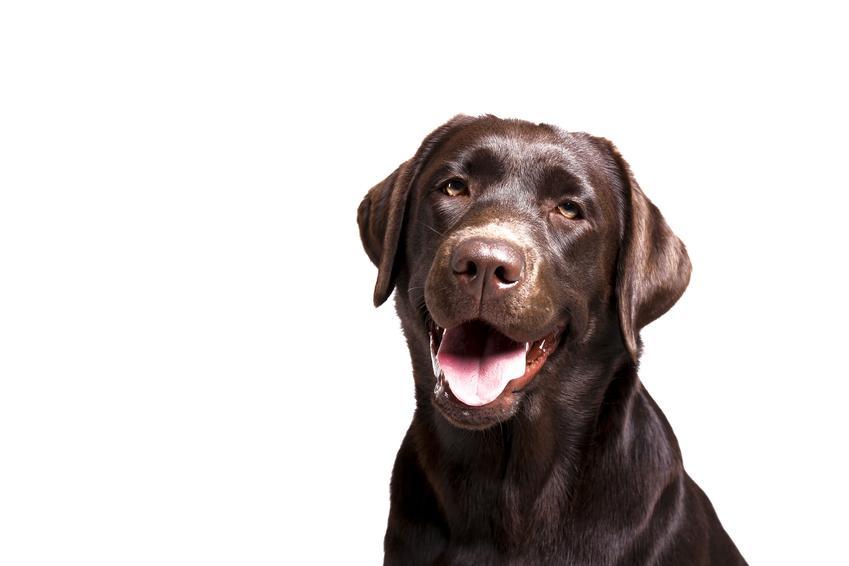 Pies rasy labrador brązowy, a także jego charakter, opis i usposobienie