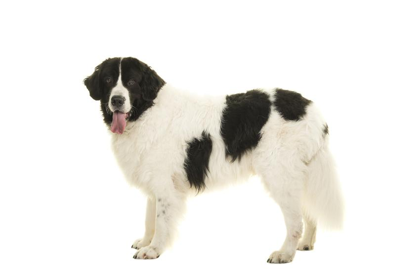 Pies rasy landseer na białym tle, a także jego charakter, opis i ceny