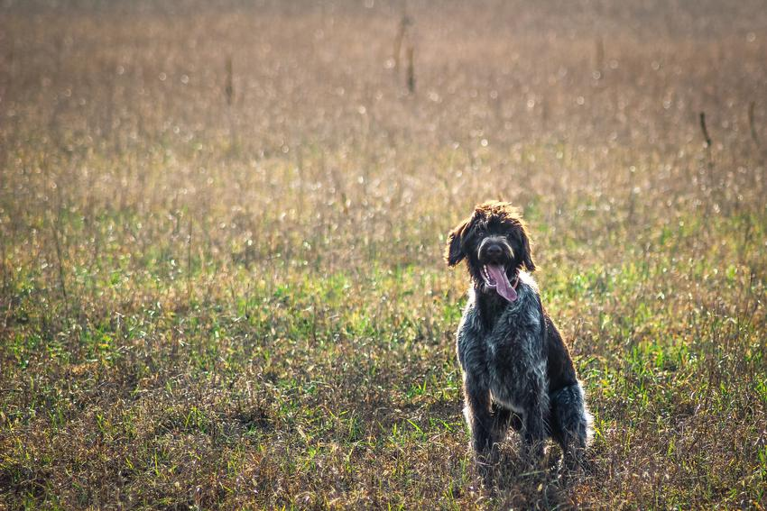 Pies rasy wyżeł niemiecki szorstkowłosy na łące, a takze jego charakter i cena