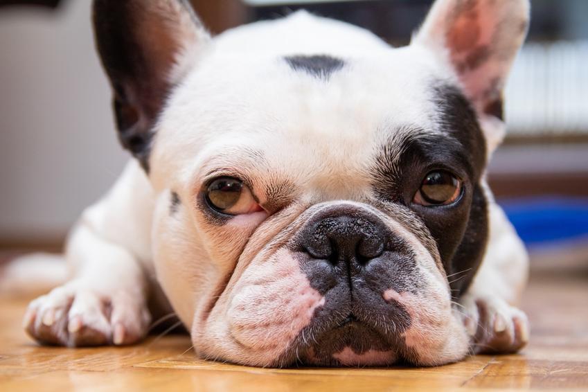 Pies rasy buldog francuski leżący na podłodze, a także cena buldoga francuskiego i cena małego buldoga