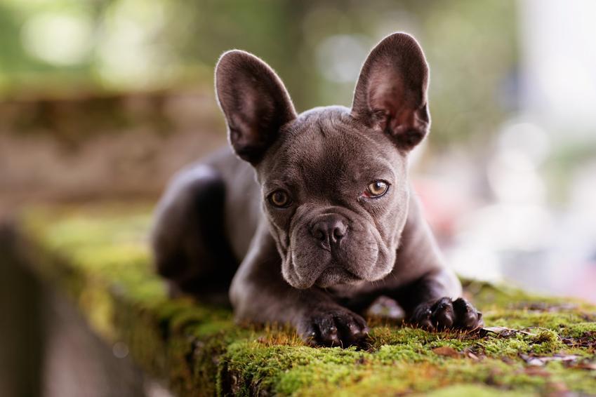 Pies rasy buldog francuski w czasie spaceru, a także cena buldoga francuskiego i cena małego buldoga