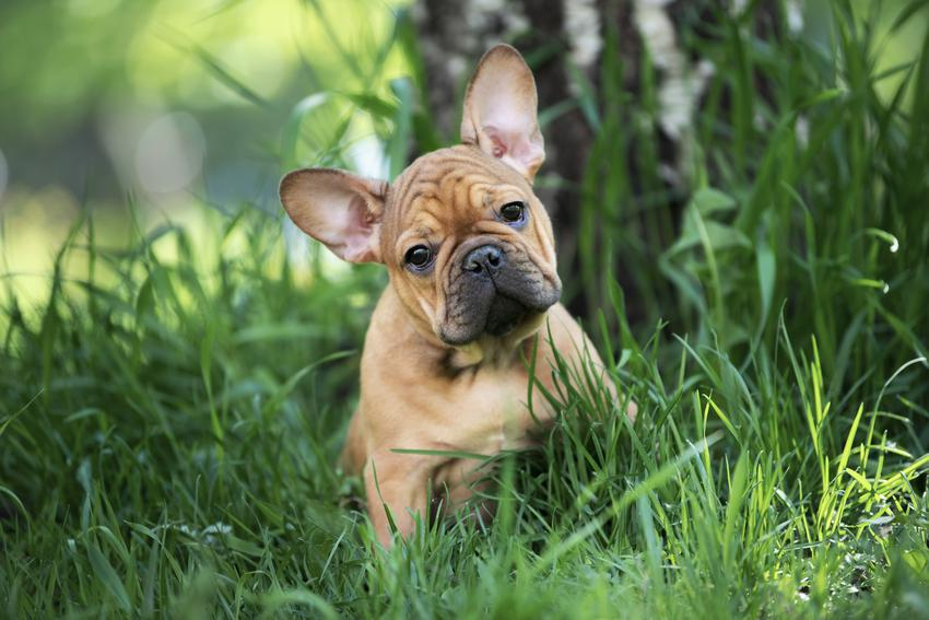 Pies rasy buldog francuski siedzący w trawie, a także szczeniak buldoga francuskiego i jego opieka