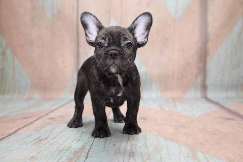 Pies rasy buldog francuski na drewnianym tle, a także szczeniak buldoga francuskiego i jego wychowanie